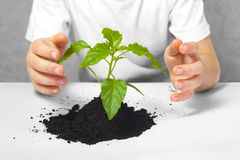 Small plant cupped in child's hands stock photo