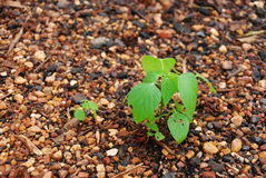 Small plant in garden. This is small plant in garden.this place is in east of thailand Stock Photo
