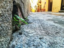 Street plant in wall royalty free stock photo