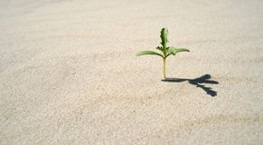 Small plant growing in the desert. Tiny plant growing out of the sand with shadow Royalty Free Stock Image