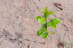 Small plant growing on dirty ground Royalty Free Stock Photo