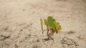 Small Plant Growing on Dry Sand Soil. 4K.