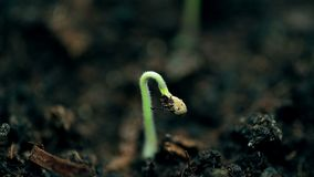 Small plant growing, extreme macro nature shot. New life, springtime time lapse. Evolution concept. Video stock image