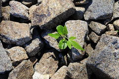 Small plant growing through field of rocks Stock Photos