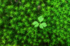 Small plant growing from moss green background Stock Image