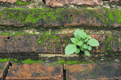 Small plant growing on a wall. Small plant growing on an old brick wall, Wat Maha That, Ayutthaya, Thailand royalty free stock images