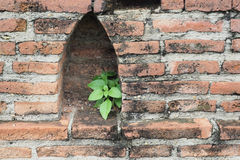 Small plant growing on a wall. Small plant growing on an old brick wall, Wat Maha That, Ayutthaya, Thailand Royalty Free Stock Photography