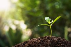 Free Small Plant Growing With Sunshine. Agriculture Concept Stock Photography - 155660942