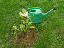 Small plant magnolia and watering pot Stock Images