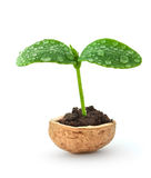 Small plant in a nutshell Stock Image