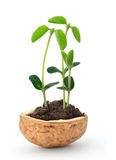 Small plant in a nutshell. Small plant of soy in a nutshell Royalty Free Stock Photography
