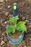 Small plant on a planting trowel in a garden Royalty Free Stock Photo