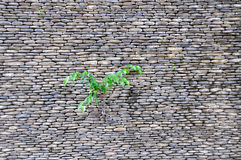 Small plant on the rock wall Royalty Free Stock Photo