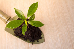 Small plant and soil in spade on wooden Stock Image