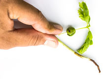 Small plant of soy and hand Stock Photography
