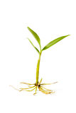 Small plant tree with root Stock Images
