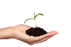 Small plant in woman hand Royalty Free Stock Image