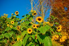A small plantation of autumn yellow-green sunflowers on a beautiful rural meadow Stock Photo