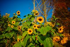 A small plantation of autumn yellow-green sunflowers on a beautiful rural meadow Stock Image