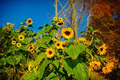 A small plantation of autumn yellow-green sunflowers on a beautiful rural meadow Stock Photography