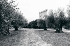 A small plantation of olive trees in the garden of the old castle. Black and white photo royalty free stock photography