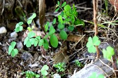 Small planting of clovers in a forest royalty free stock photos