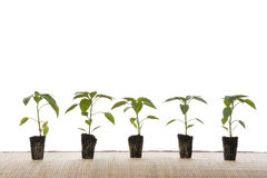 Small plants. Ready for gardening Royalty Free Stock Image