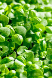 Small plants of basil Royalty Free Stock Photos