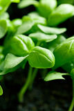 Small plants of basil Stock Images