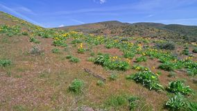 Flyby over fields of wildflowers that are colored yellow. Small plants in foothills near Boise Idaho with yellow flowers stock footage