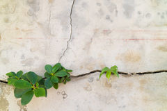 Small plants germinated from the cracked concrete wall background Royalty Free Stock Photos