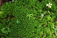 Small plants on massive green moss Royalty Free Stock Images