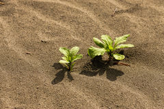 Small plants in the sand. Stock Image