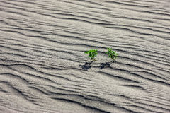 Small plants in wind blown sand. Stock Photos