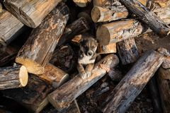 ute Puppy Lies On The Sawn Logs royalty free stock photography