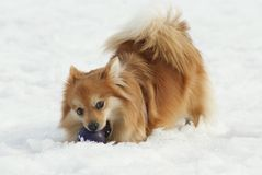 Playful dog with a ball Royalty Free Stock Images