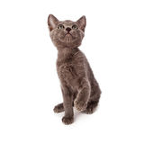 Small playful kitten Royalty Free Stock Photo