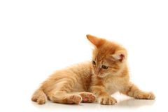 Small playful kitty Royalty Free Stock Image