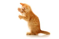 Small playful kitty Royalty Free Stock Images