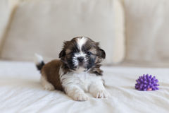 Small playfull furry pup Stock Images