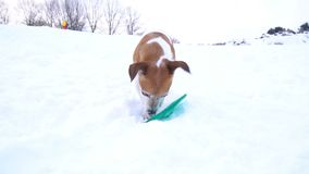 Small playing pet. Funny Jack Russell terrier having fun outside. Video footage slow motion. Amazing snowy winter stock video