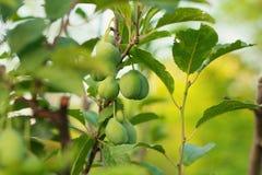 Small plum. Growing on tree stock image