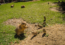 Small plump marmot and sparrows walking on the lawn stock photo