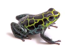 Small poison dart or arrow frog, Ranitomeya variabilis. Macro of a beautiful rain forest animal from the Amazon jungle of Peru. Isolated on a white background stock photos