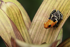 Small poison dart frog Ranitomeya fantastica Stock Photo