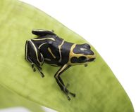 Small poison dart frog Ranitomeya fantastica royalty free stock photos