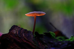 Small poisonous mushroom Stock Photo