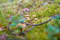 Small poisonous mushrooms grow in the moss in the forest Stock Photo