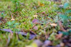 Small poisonous mushrooms grow in the moss in the forest Royalty Free Stock Photo