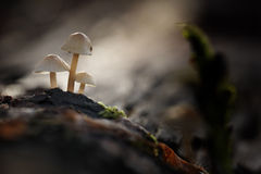 Small poisonous mushrooms unusual tiny Stock Photography